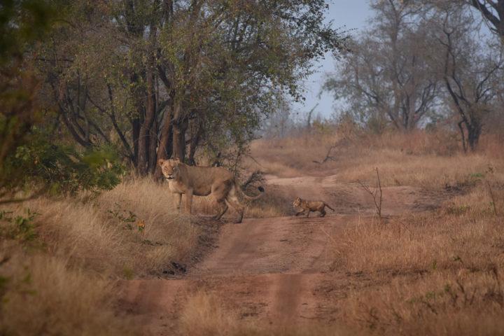 lioness and cub, Ntsevu, Londolozi, Kruger National PArk