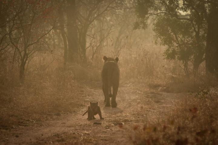 lions, lion cub, Ntsevu, Londolozi, Kruger National Park