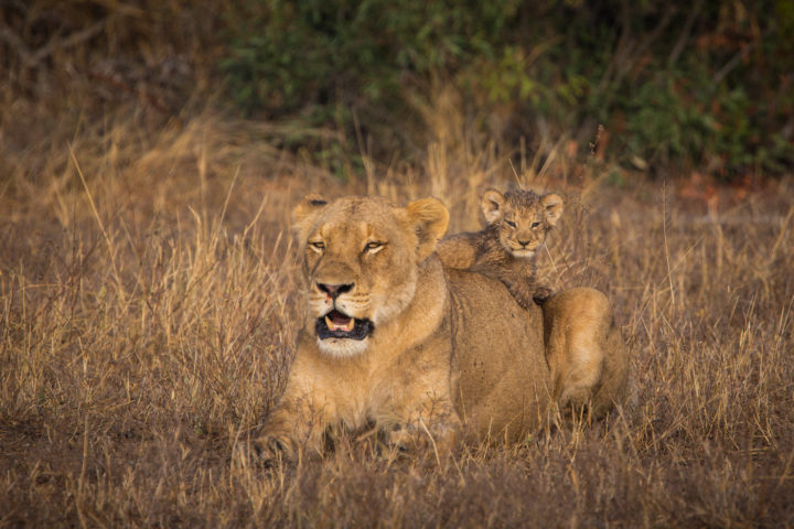 lion cub, Londolozi, Kruger National Park, Ntseuv