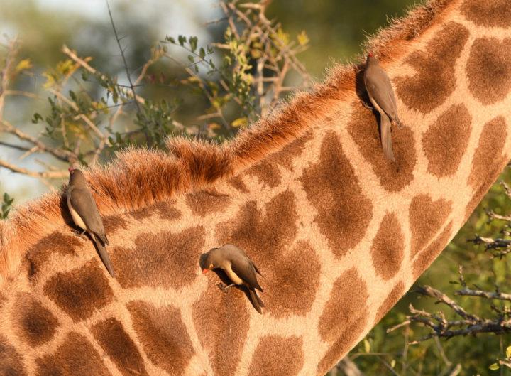 red-billed oxpeckers, giraffe, Londolozi, Kruger National Park