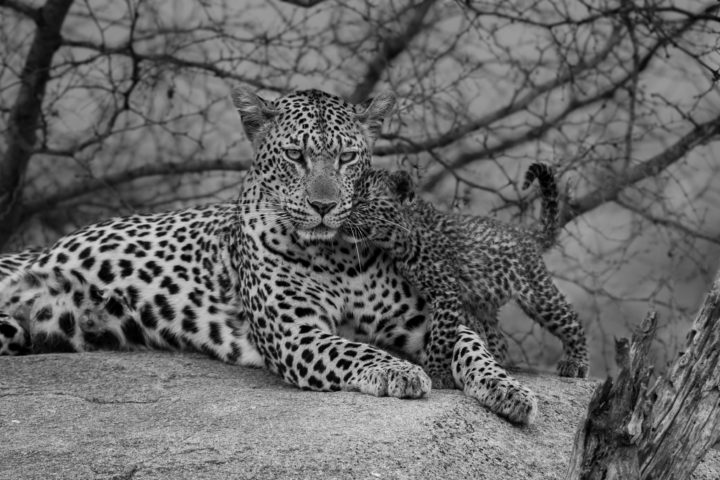 Leopard, mashabe female, cubs, black and white, PT