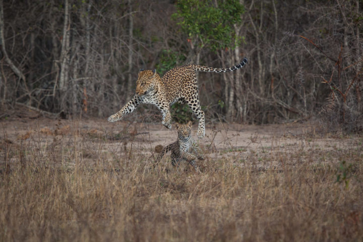 Tamboti female, leopard, cub, playing, PT