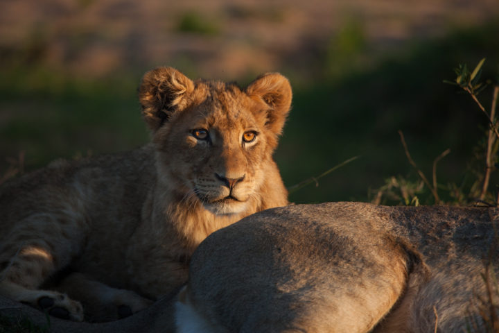 Lion cub, tsalala breakaway, golden light, eye, PT