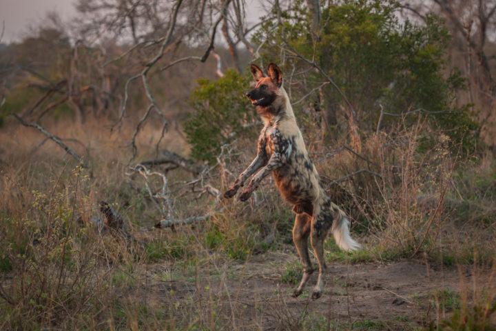 wild dog, jumping, predator, PT
