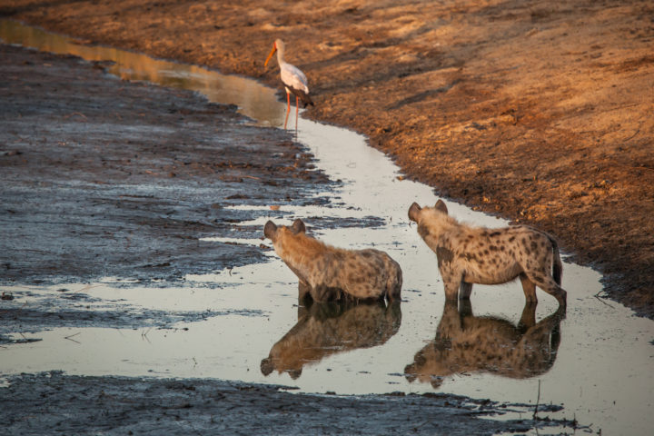 Hyena, mud, waterhole, reflection, yellow-billed stork PT