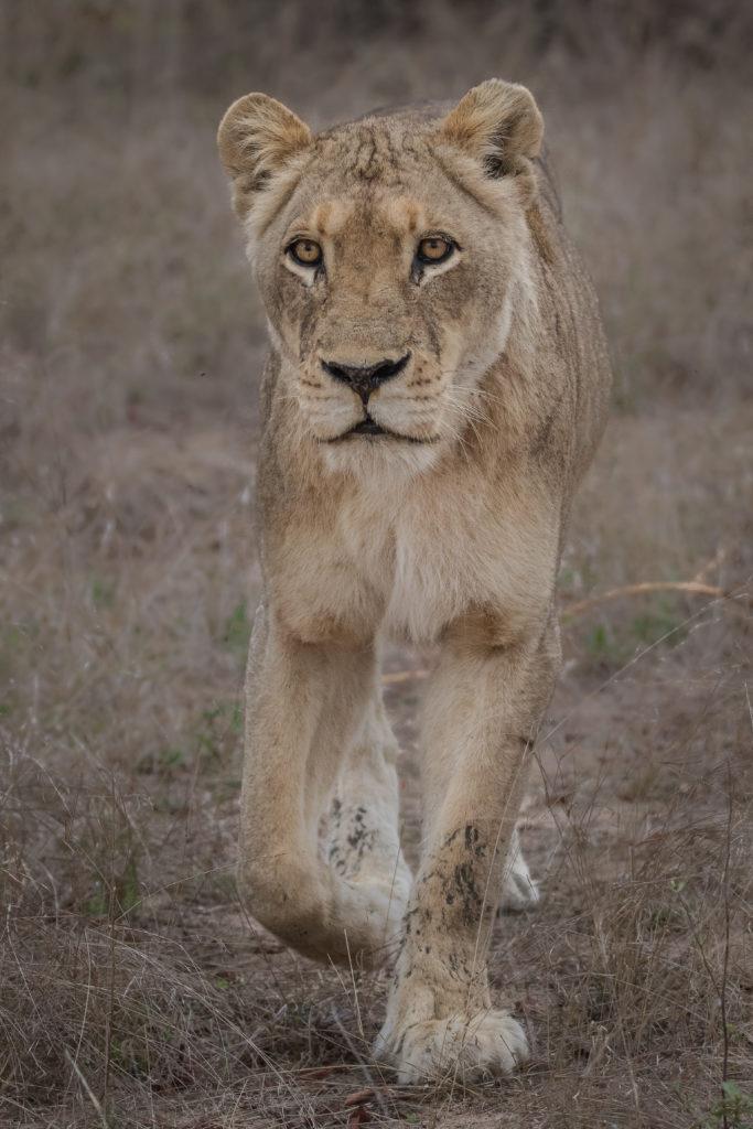 lion, lioness, tsalala
