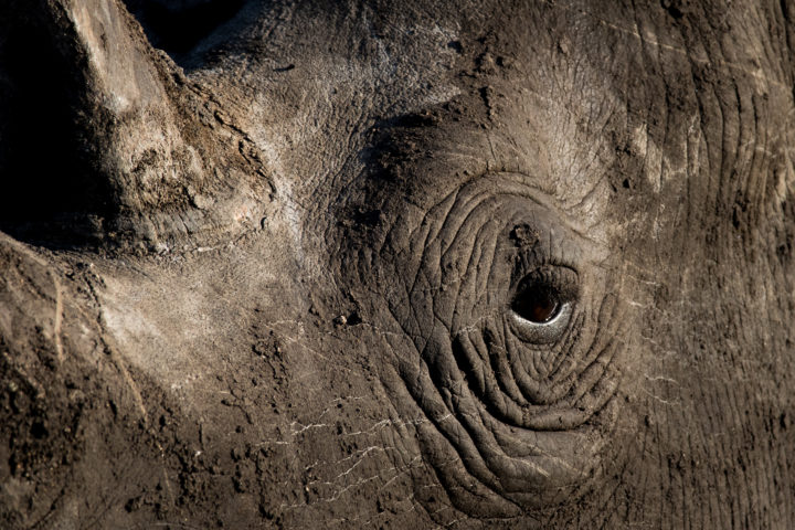 White rhino, textures, mud, shadows