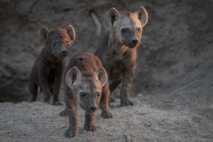 Hyena, cubs, Hyena den, sunset