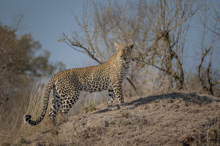 Nanga, leopard, termite mound