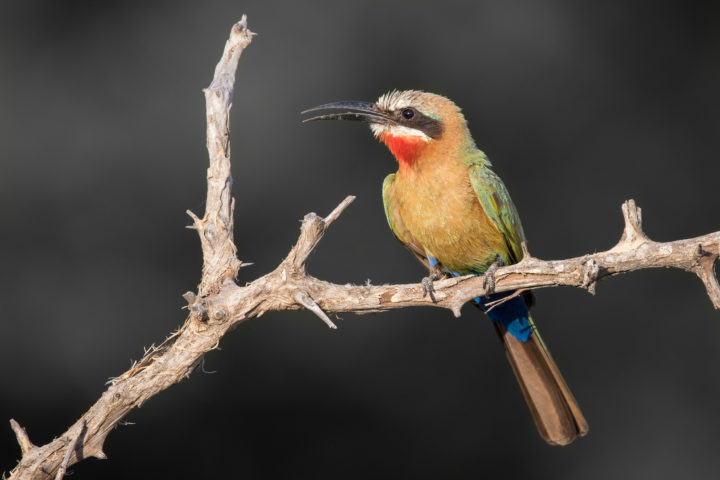 White-fronted bee-eater, sunrise, bird, colours