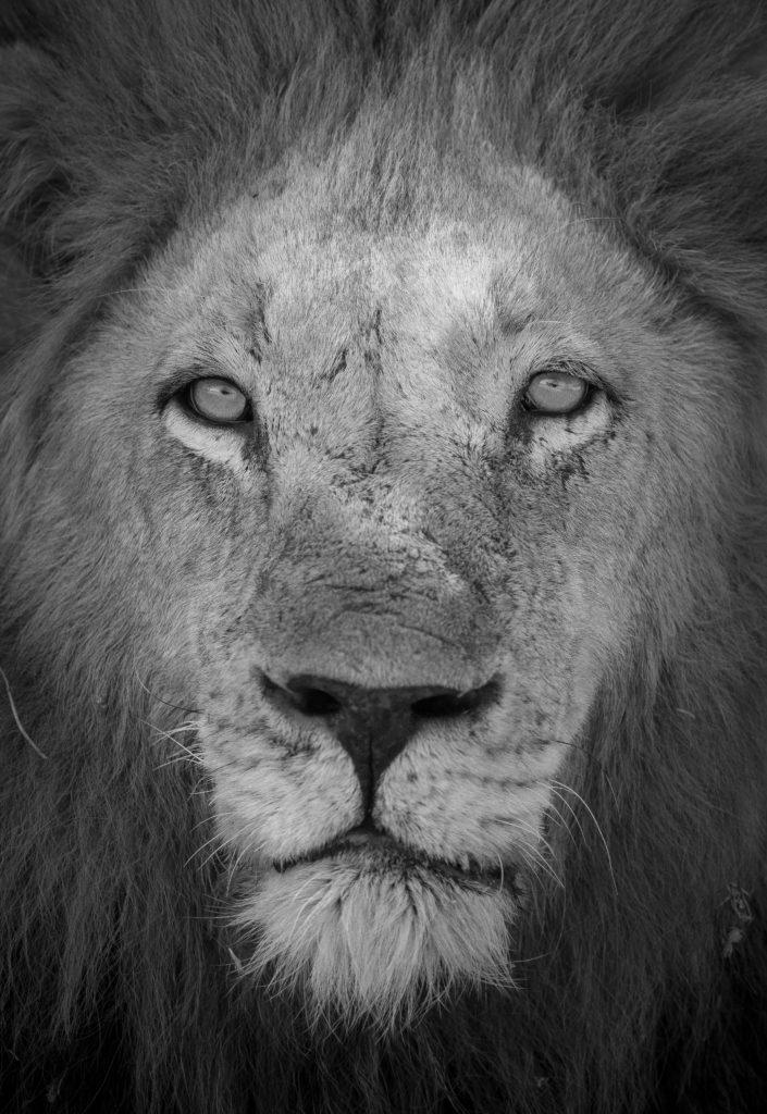 Male lion, Majingilane, stare, mane, eyes