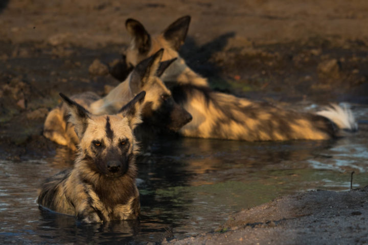 wild dogs, pack, wallow, hot day, cool off,