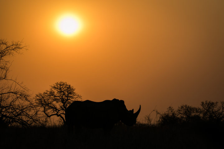 white rhino, sunset, silhouette, afternoon
