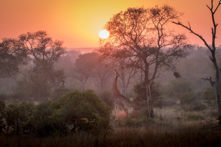 giraffe, feeding, sunrise, dusk,