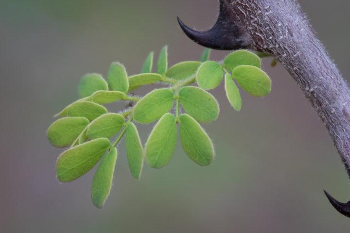 knob thorn, tree, JT, summer, Londolozi, Kruger