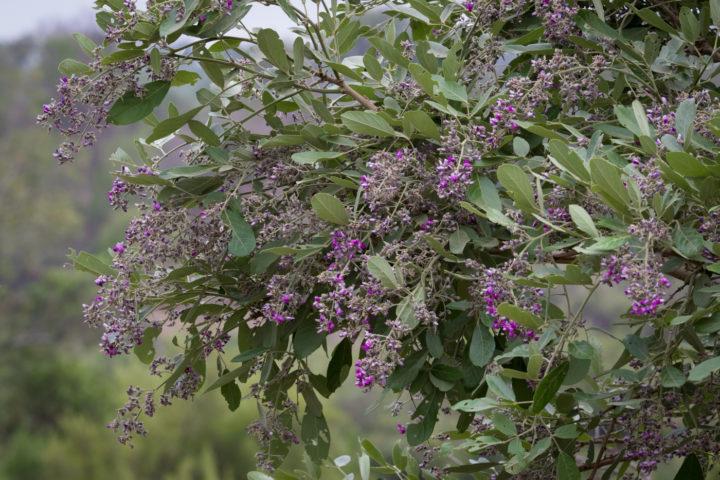 apple leaf flowers, summer , AA, Londolozi, Kruger national Park