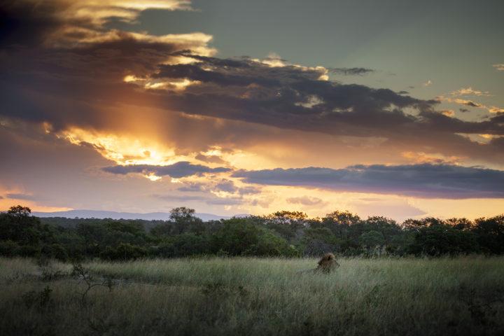 lion, Londolozi, Kruger National Park