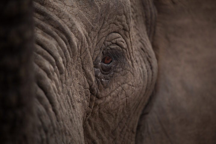 Elephant, eye, close-up, PT