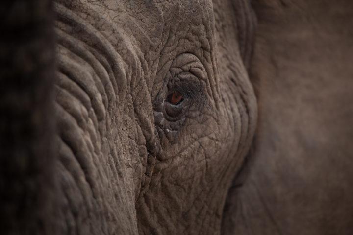 Elephant, eye, close-up, PT