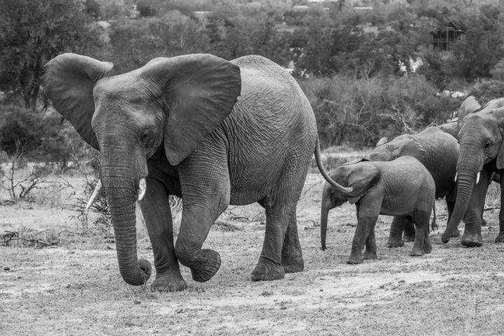 Elephant, breeding herd, calf, PT