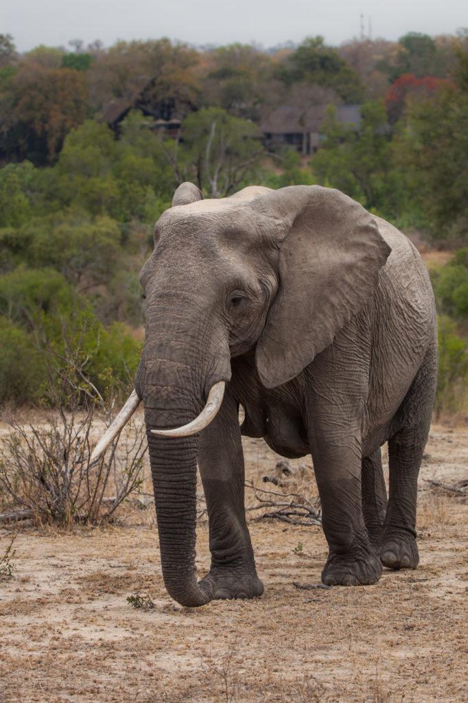 Elephant cow, breeding herd, PT