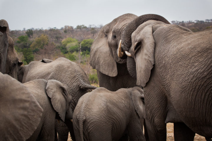 Elephant, breeding herd, interaction, PT