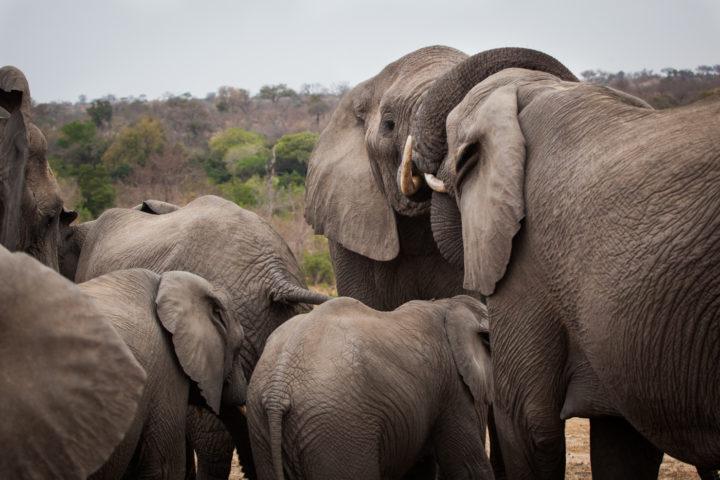 Elephant, breeding herd, interaction, PT