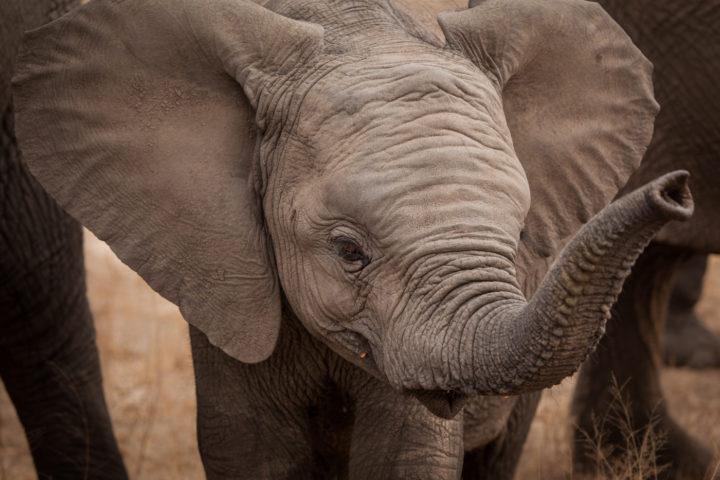 elephant, calf, close-up, PT
