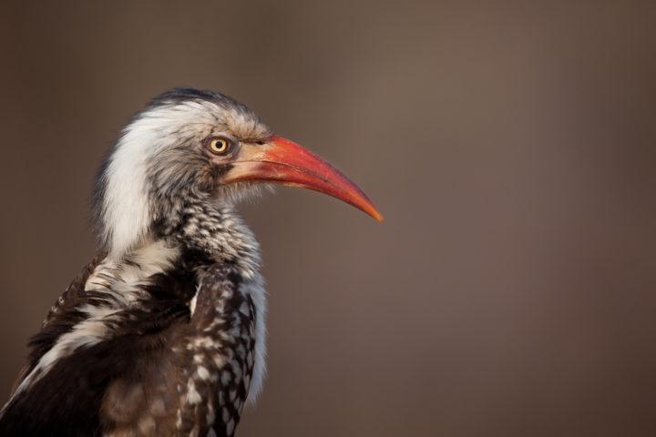 Red-billed hornbill, bird, PT