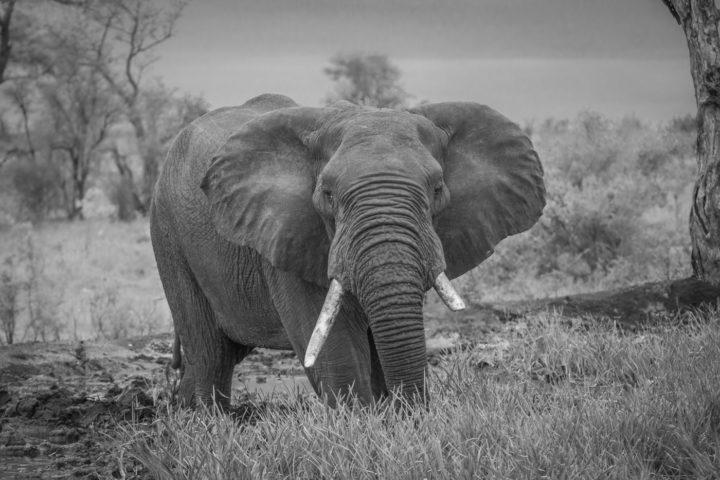Elephant bull, tusks, black and white PT