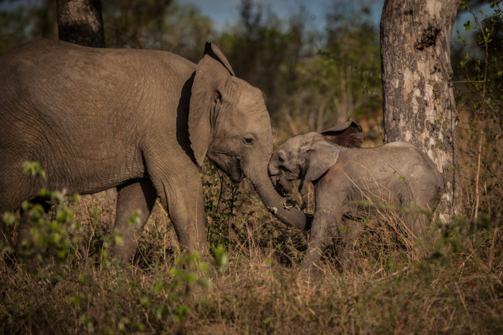 Elephant, calf, playing, PT