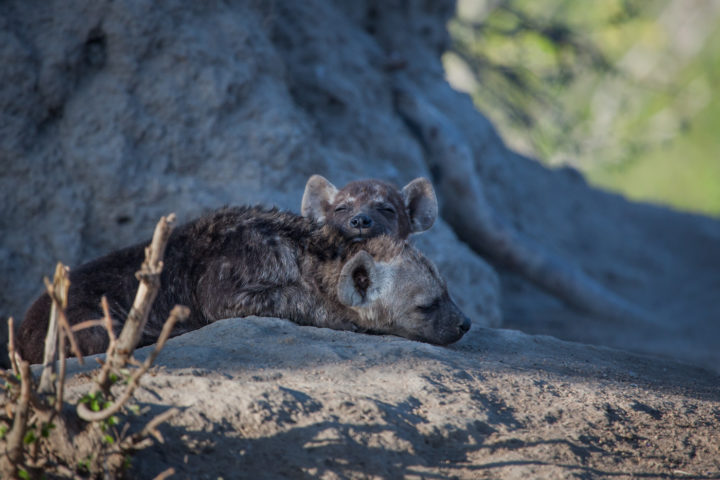 Hyena den, cubs, sleeping, PT