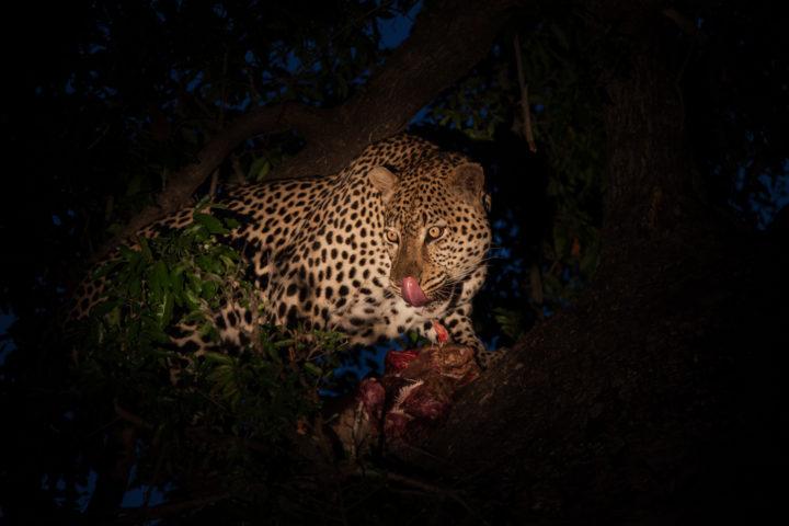 leopard, flat rock male, feeding, spotlight PT
