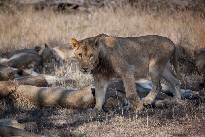 Mungheni young male lion, pride, PT