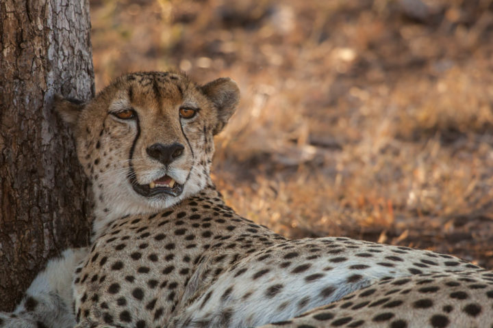 Cheetah, eyes, PT