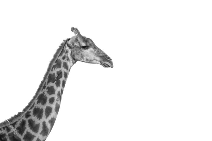 Giraffe, portrait, black and white PT
