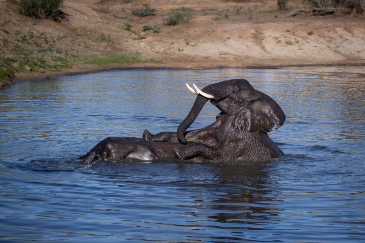 Elephant bulls, swimming, playing, waterhole PT