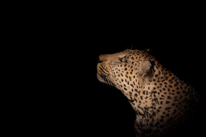 Anderson male, leopard, spotlight, night, PT