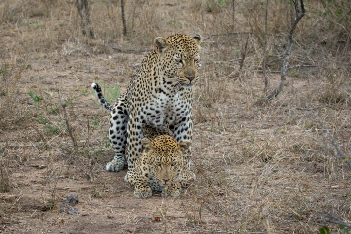 Mashaba female, flat rock male, mating, leopard, SZ