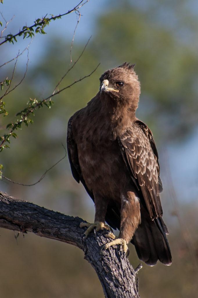 Wahlbergs eagle, bird, perch, Bennet Mathonsi