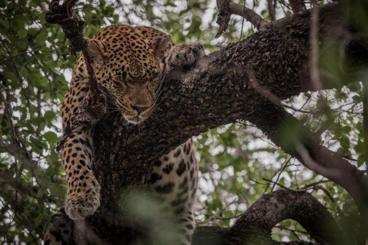 tamboti leopard, Londolozi, PT
