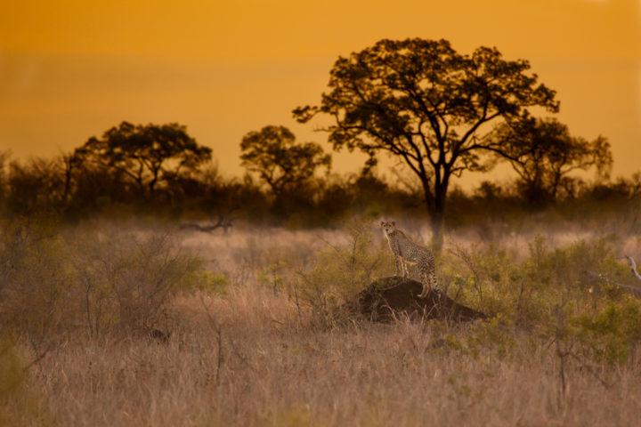 cheetah, Londolozi, Kruger National Park