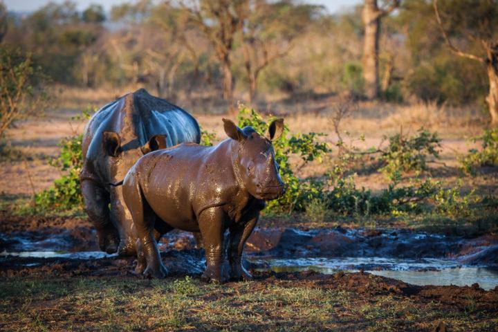 rhino, mud wallow, PT