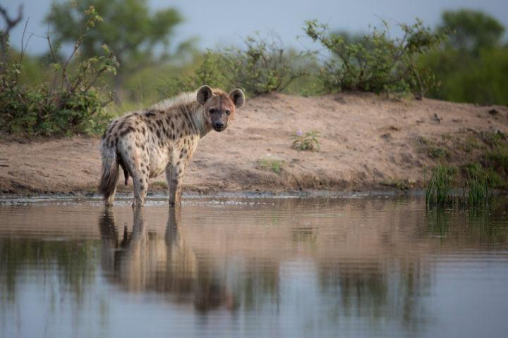 hyena, wallow, JT