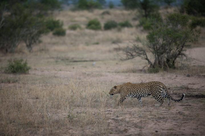 nkoveni female leopard, JT