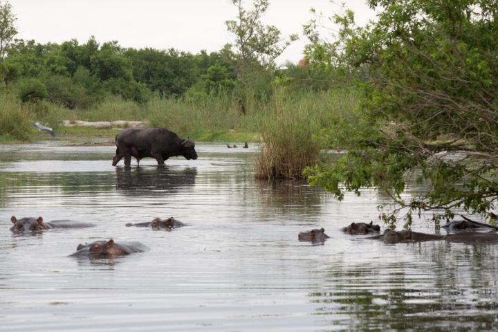 buffalo, hippo