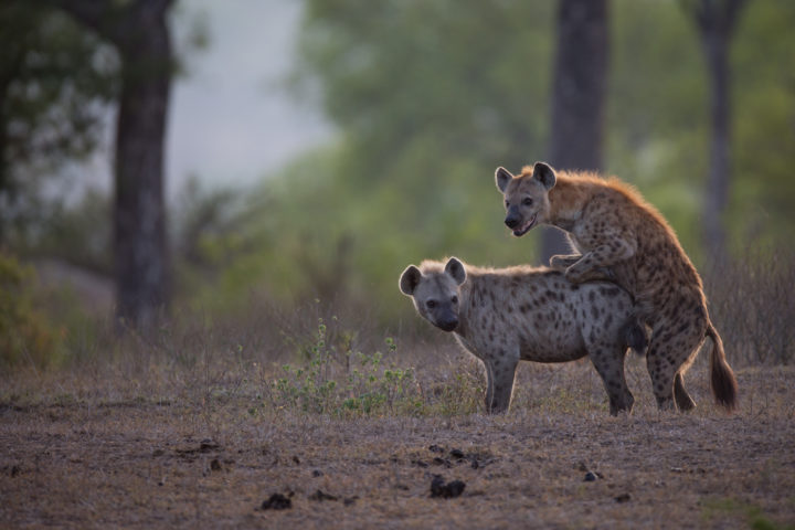 hyenas mating, Londolozi, KNP