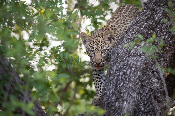 tamboti leopard, JT