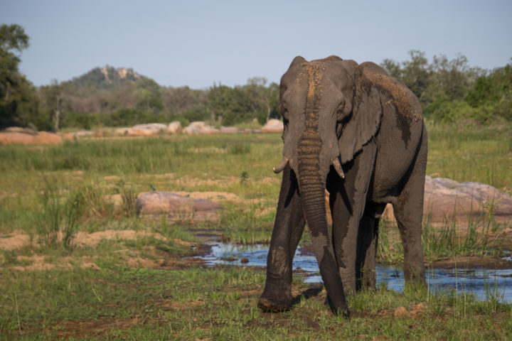 elephant bull, sand river, Londolozi
