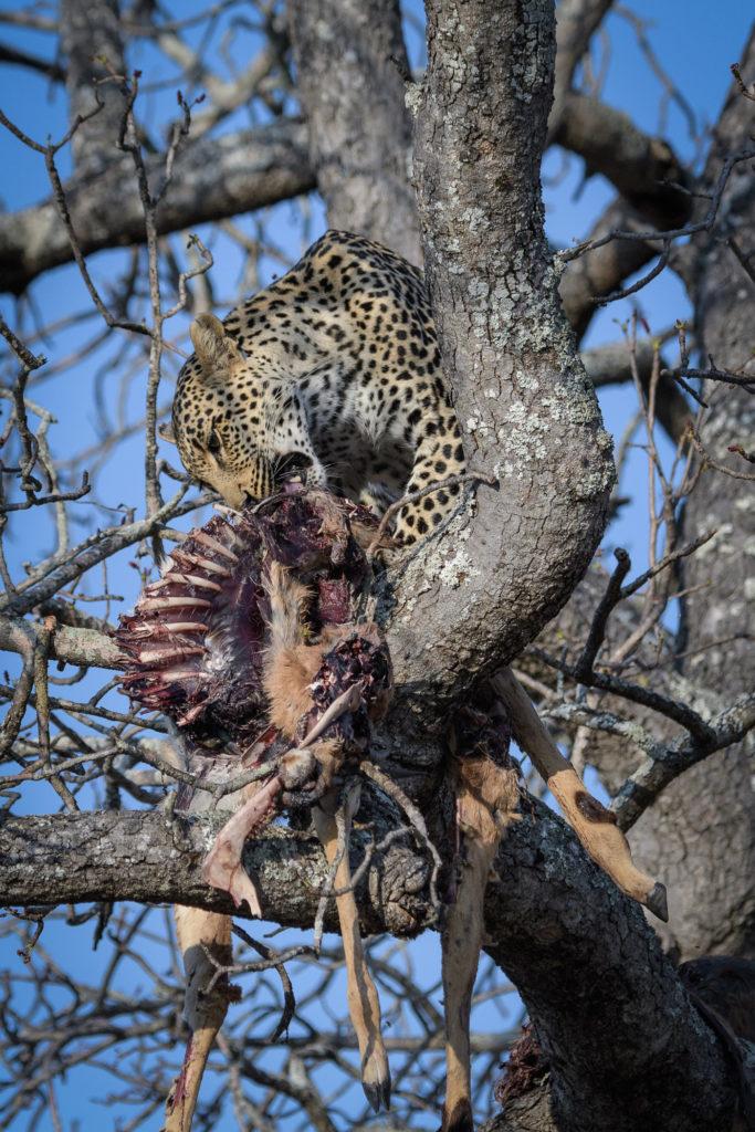 leopard, Tatowa, Londolozi Game Reserve